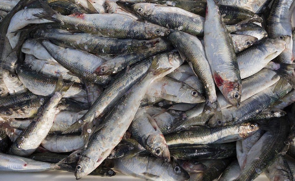 Heringsfischer